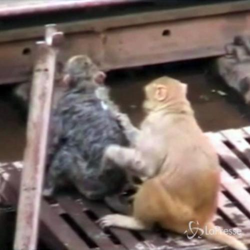 Scimmia salva la vita a un'altra scimmia folgorata ...