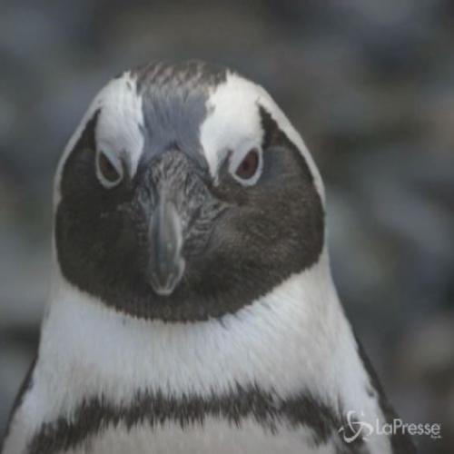 I pinguini africani di nuovo sereni a San Diego: nuotano e ...