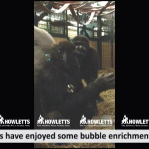 Il gorilla che gioca con le bolle di sapone