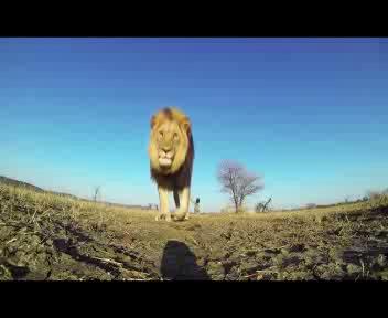 La telecamera tra le fauci del leone