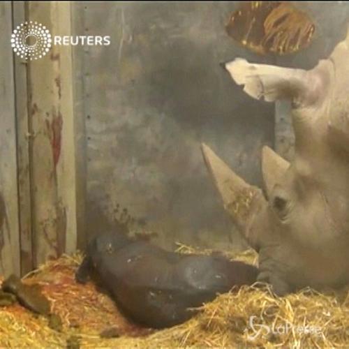 Cucciolo di rinoceronte nato allo zoo di Copenaghen, il ...