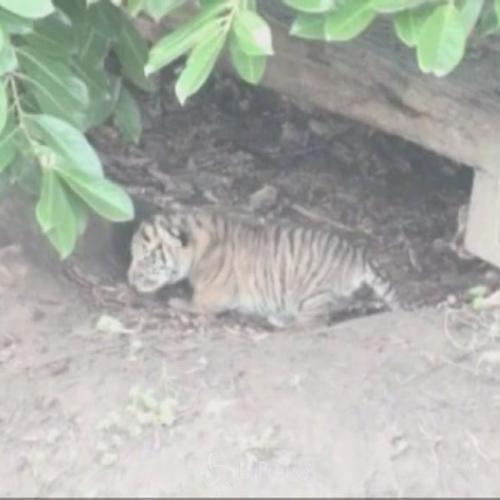 Tre cuccioli di tigre di Sumatra muovono i primi passi allo ...