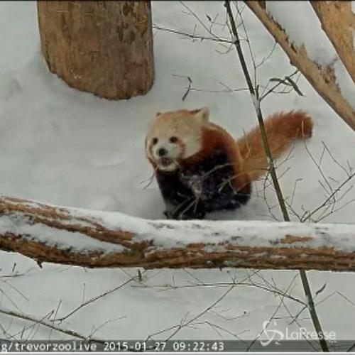 Panda rossi in zoo di New York giocano con la neve dopo la ...