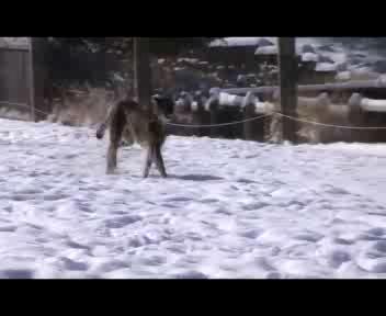 Usa, giochi pericolosi tra il ghepardo e il cane