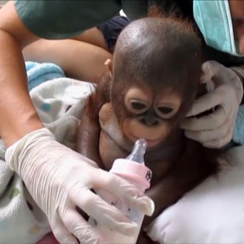 Il baby orango che fa commuovere il mondo, dalla gabbia per ...