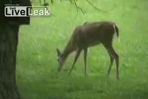 Giovane cervo carnivoro, stuzzicato da un uccello finisce ...