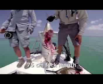 Il pesce abbocca all'amo, ma il barracuda lo sbrana