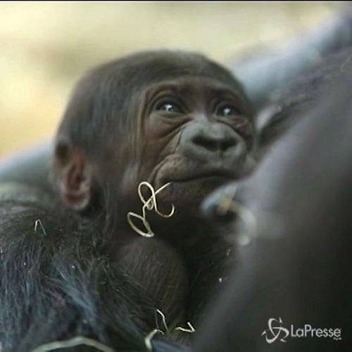 Fiocco azzurro allo zoo di Chicago: è nato cucciolo di ...