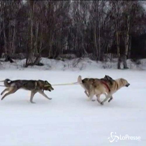 Cani da slitta lanciati a tutta velocità sulla neve: in ...