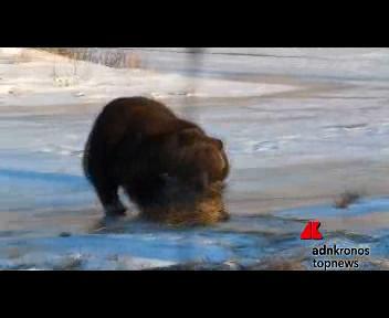 L'orso che gioca con la balla di fieno