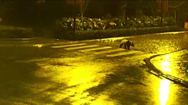 Cina, il panda gigante attraversa vicino alle strisce ...