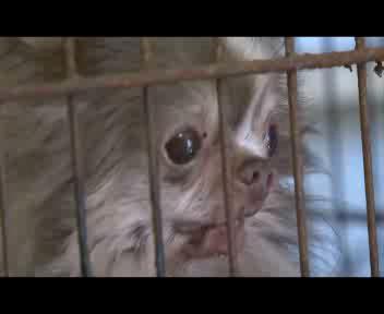 Il chihuahua rinchiuso in gabbia