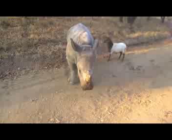 Il rinoceronte che si crede una capretta