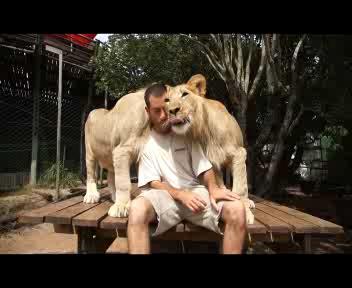 Le 'tenere' carezze dei leoni