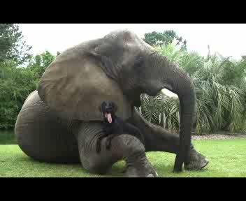 L'elefante e il labrador amici per la pelle