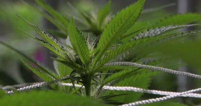 Libertà di cannabis e monopolio di Stato, la proposta di ...