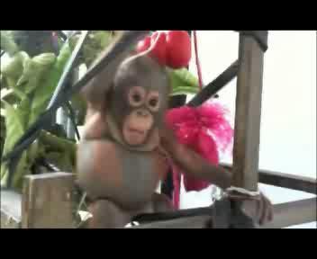 Guarisce il piccolo orango tenuto in una gabbia per polli   ...