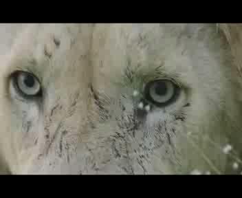 Aslan, il leone bianco che aveva perso i canini