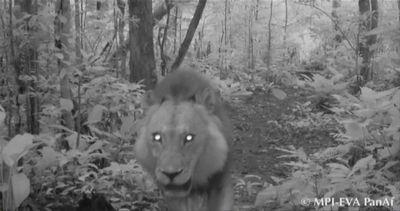 Gabon, torna il leone nel Batéké Plateau National ...