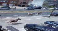 Tre zebre al galoppo per le strade di Bruxelles