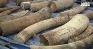 Thailandia, sequestrate 739 zanne d'elefante
