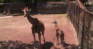Il cucciolo di giraffa dello zoo di Mexico City