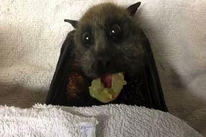 Il pipistrello fa colazione, video virale alla conquista ...