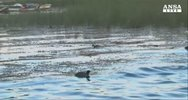 Moria di rane nel lago Titicaca