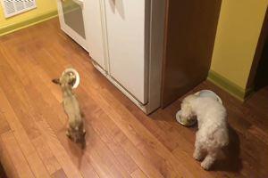 Chihuahua salvato e adottato, per lui mangiare da solo è ...