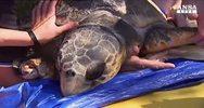 Australia, tartaruga attaccata da coccodrillo e' fuori ...