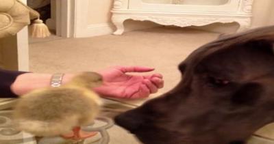 Magico mondo degli animali, Hugo l?alano incontra Darcy l?anatroccolo