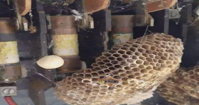 Magico mondo degli animali: vespe trasformano contatore in mega alveare