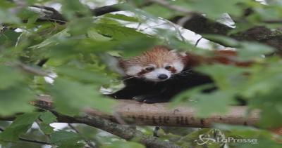 Al bioparco Zoom di Cumiana arrivano due panda rossi