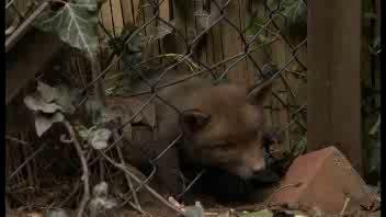 Il cucciolo di volpe incastrato con la testa nella rete     ...