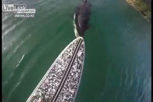 Sul surf inseguito da un'orca, terrore nel mare della ...