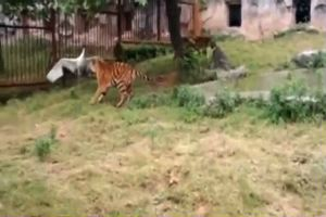 Gru atterra nel recinto delle tigri, il finale è ...