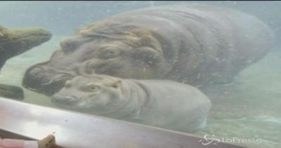 Baby ippopotamo saluta da sott'acqua i visitatori ...