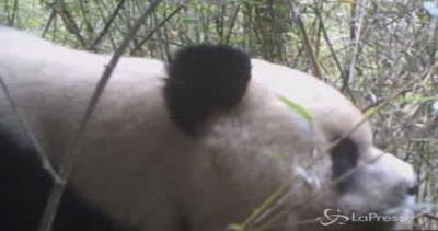 Panda selvaggio avvistato in Tibet: a Caodi lo celebrano ...