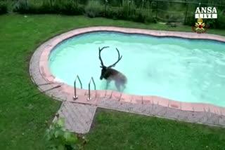 Cervo finisce in piscina, salvato da vigili fuoco