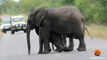 L'elefantino sviene, in suo aiuto arriva il ...