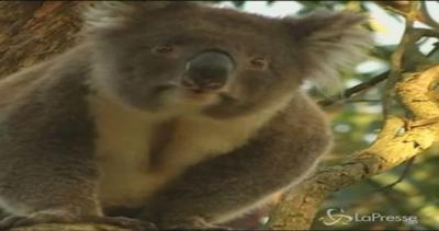 Australia, troppi koala nello Stato di Victoria: è ...