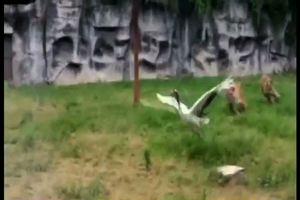 Scontro fra due tigri e una gru in uno zoo cinese.