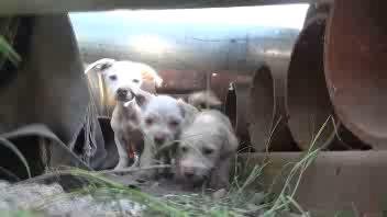 Il cane 'mammo' che protegge i suoi cuccioli