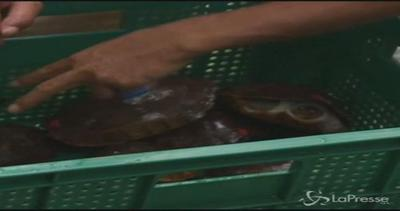 Filippine, 4.000 tartarughe in via di estinzione salvate ...