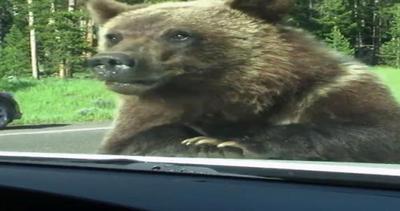 Orso curioso dà il benvenuto a una famiglia di turisti