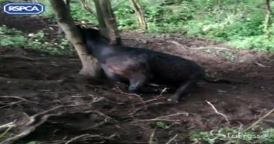 Mucca rimane incastrata tra 2 alberi: salvata per un pelo ...