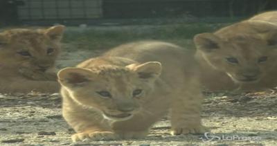 Tre teneri cuccioli di leone fanno il loro debutto pubblico ...