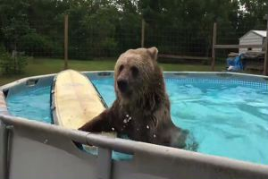 L'orso che sguazza felicemente nella piscina