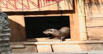 A casa delle lontre Nina e Hamal: giocano a nascondino ed ...