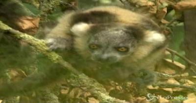 Baby lemuri teneri e avventurosi allo zoo di Twycross